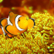 The Clownfish (Amphiprion ocellaris). — Stock Photo