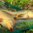 Fish on fishing net. The Common Carp ( Cyprinus Carpio ). In Central Europe ( Poland and Czech Republic ), fish is a traditional part of a Christmas Eve dinner. — Stock Photo #12711506