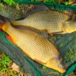 Fish on fishing net. The Common Carp ( Cyprinus Carpio ). In Central Europe ( Poland and Czech Republic ), fish is a traditional part of a Christmas Eve dinner. — Stock Photo #12711512