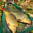 Fish on fishing net. The Common Carp ( Cyprinus Carpio ). In Central Europe ( Poland and Czech Republic ), fish is a traditional part of a Christmas Eve dinner. — Stock Photo #12711514