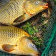 Fish on fishing net. The Common Carp ( Cyprinus Carpio ). In Central Europe ( Poland and Czech Republic ), fish is a traditional part of a Christmas Eve dinner. — Stock Photo #12711515