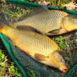 Fish on fishing net. The Common Carp ( Cyprinus Carpio ). In Central Europe ( Poland and Czech Republic ), fish is a traditional part of a Christmas Eve dinner. — Stock Photo #12711517