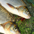 Stock Photo: Fish on landing net. ( Ide - Leuciscus idus)