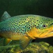 Stock Photo: Underwater photo of Brown Trout (Salmo Trutta) in mountain lake.