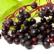 Sambucus nigra - Elder - The flowers and berries are used most often medicinally against flu and fever, angina, etc. — Stock Photo