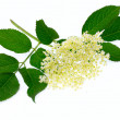 Sambucus nigra - Elder - The flowers and berries are used most often medicinally against flu and fever, angina — Stock Photo #12713383