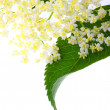 Sambucus nigra - Elder - The flowers and berries are used most often medicinally against flu and fever, angina — Stock Photo #12713384