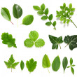 Green leaf collection on white background - Stockfoto