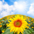 Sunflower (Helianthus annuus) Sunflower oil, extracted from the seeds, is used for cooking, as a carrier oil and to produce margarine and biodiesel. — Stock Photo
