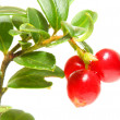 The Cranberry (Vaccinium vitis-idaea) has been used as an astringent, disinfectant.antise ptic, a diuretic, and treat breast cancer, diabetes mellitus, rheumatism, and various urogenital conditions — Zdjęcie stockowe #12713574