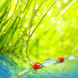 Stock Photo: Ladybugs.