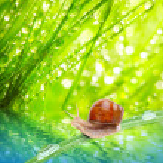 Edible snail (Helix pomatia). — Stock Photo