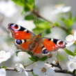 The Butterfly. — Stockfoto