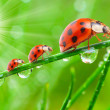 The Ladybugs. — Stock Photo