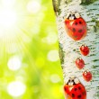 Ladybugs family in Birch forest. Betula pendula (Silver Birch) Birch resin is used in the pharmacy and cosmetics industry (hair conditioner). - Stock Photo