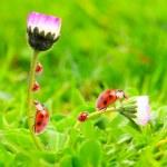 The Ladybugs. — Stock Photo #12714196