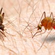 The Anopheles mosquito dangerous vehicle of infection. - Stock Photo