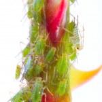 Постер, плакат: Green aphids on rose footstalk dangerous vermin for garden