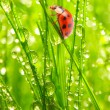 Ladybug on fresh green leaf. — Stockfoto