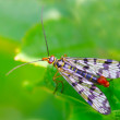 Scorpionfly (Mecoptera) dangerous vehicle of infection. — Stock Photo