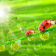 Ladybugs family on a dewy grass. — Stock Photo #12714503