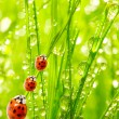 Ladybugs family on a dewy grass. — Stock Photo #12714510