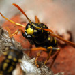 The Yellow Jacket Wasp. — Stock Photo