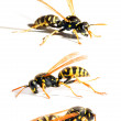 The Yellow Jacket Wasp. — Stock Photo #12714588
