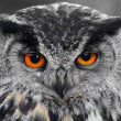 Portrait of The Eurasian Eagle Owl (Bubo bubo). — Stock Photo