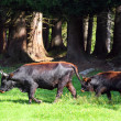 The Auroch also Urus - Bos Primigenius. Very rare wild European Buffalo living only in a Czech National Park Sumava and Germany National Park Bavarian Forest. — Stock Photo #12714658