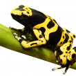 The poison dart frog Dendrobates leucomelas. - Stock Photo