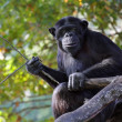 Stock Photo: Portrait of adult chimpanzee with pripmitive tool in Zoo Pilsen - Czech Republic - Europe