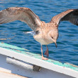 Young Seagull on the board. - Photo