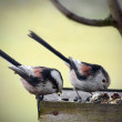 Two Long-tailed titmouse in bird table — Stock Photo
