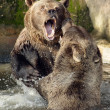 Fighting bears. - Stock Photo