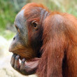 Stock Photo: Looking orangutin ZOO Prague - Czech Republic Europe