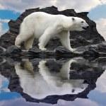 urso polar na falésia — Foto Stock