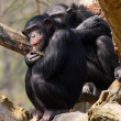 The Chimpanzee. - Stock Photo