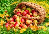 红色和黄色的苹果. — 图库照片
