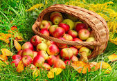 Red and yellow apples. — Stock Photo