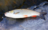 Big European Chub (Squalius cephalus) on fishing line in river. — Stock Photo
