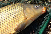 The Common carp (Cyprinus carpio) on a landing net. Trophy fish from The Radbuza river in Czech Republic, Europe. — Stock Photo