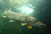 Big Pike (Esox Lucius). — Stock Photo