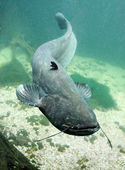 The Catfish (Silurus Glanis). — Stock Photo
