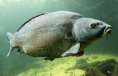 The Common Carp (Cyprinus Carpio). — Stock Photo