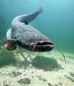 The Catfish (Silurus Glanis). — Stock Photo