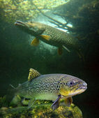 The Brown Trout and a big Pike. — Stock Photo
