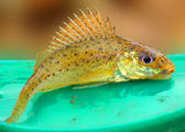 The Eurasian Ruffe (Gymnocephalus cernuus) is a freshwater predatory fish found in temperate regions of Europe and northern Asia. — Stock Photo