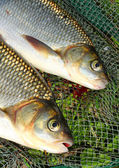 The fish on a landing net. ( Ide - Leuciscus idus) — Stock Photo