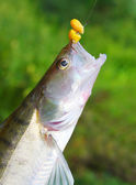 Fresh catch of The Zander or Pike-perch (Sander lucioperca). — Stock Photo